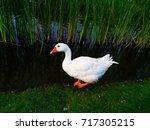 The Roman Goose Is An Italian...