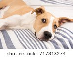 Stock photo young fawn and white dog relaxing on human bed 717318274