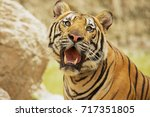 adult indochinese tiger. the... | Shutterstock . vector #717351805