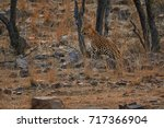 indian leopard  panthera pardus ... | Shutterstock . vector #717366904