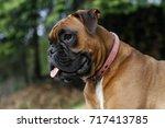 Dog German Boxer