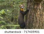 Pine Marten On The Side Of A...