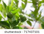 the fresh green lime on tree... | Shutterstock . vector #717437101