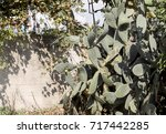 Small photo of Opuntia cactus fig