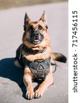 Small photo of Brown German Sheepdog Alsatian Wolf Dog Wearing In Special Training Clothes And Sitting On Road In Sunny Day