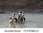 Small photo of penguins emerge from water