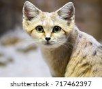 sand cat  felis margarita  is a ... | Shutterstock . vector #717462397