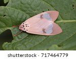 Small photo of Amerila arthusibertrandi