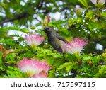 seychelles sunbird  cinnyris... | Shutterstock . vector #717597115