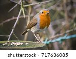 robin standing beside seed on a ... | Shutterstock . vector #717636085