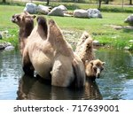 mother and baby camel cooling... | Shutterstock . vector #717639001