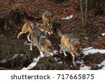 The Pack Of Gray Wolves Or Gre...