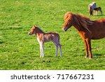 icelandic foal horse in spring... | Shutterstock . vector #717667231