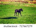 icelandic foal horse in spring... | Shutterstock . vector #717667279