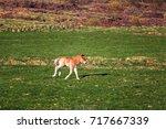 icelandic foal horse in spring... | Shutterstock . vector #717667339