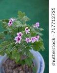 geranium fragrance  pelargonium ... | Shutterstock . vector #717712735