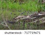 baby alligators in lake martin  ... | Shutterstock . vector #717719671