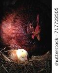 protective mother hen | Shutterstock . vector #717723505