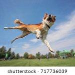 an australian shepherd collie... | Shutterstock . vector #717736039