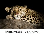 Portrait Of A Female Leopard A...