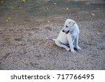 little baby white dog smilling... | Shutterstock . vector #717766495
