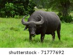 Water Buffalo Standing On Gree...