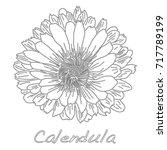 calendula. medical herb... | Shutterstock .eps vector #717789199