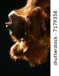 orang utans | Shutterstock . vector #7179358