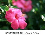 Hot Pink Hibiscus Flower On...
