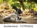 sheepdog  | Shutterstock . vector #717993631