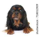 Small photo of black and tan cavalier king charles in front of white background