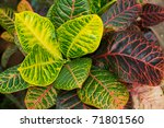 Croton Plants With Colorful...