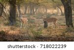 Two Wild Axis Deer  Chital ...