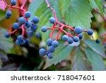 Berries Of Girlish Grapes