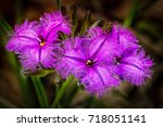 Three Fringe Lily Flowers