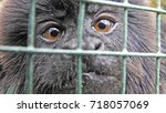 monkey in cage northern ireland ... | Shutterstock . vector #718057069