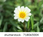 White Gazania Flowers Blooming...
