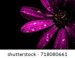 Purple African Daisy With Wate...