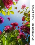 purple dahlias in the sun   Shutterstock . vector #718112401