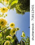 yellow dahlias under the blue...   Shutterstock . vector #718112431