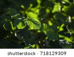 Small photo of Leaves of alnus under the sun in forest, summer time, Poland