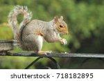 squirrel | Shutterstock . vector #718182895
