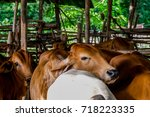 Thai Countryside Cattle Collec...