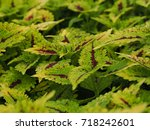 Coleus Or Painted Nettle With...