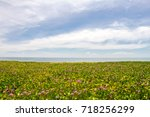 pink morning glory flowers on...   Shutterstock . vector #718256299
