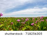 pink morning glory flowers on...   Shutterstock . vector #718256305