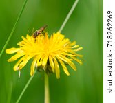 Small photo of Dandelion flower with bee with green background, Taraxacum officinale