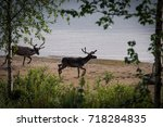 reindeers on the beach by the...   Shutterstock . vector #718284835