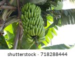 Ripening Of Green Bananas On A...