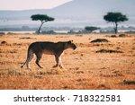 gazing lioness | Shutterstock . vector #718322581